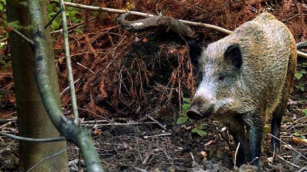 Wildschweine verursachen viele Schäden.