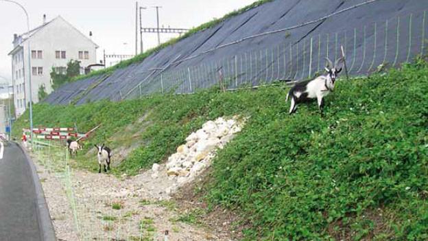 Mit Ziegen gegen die Brombeeren