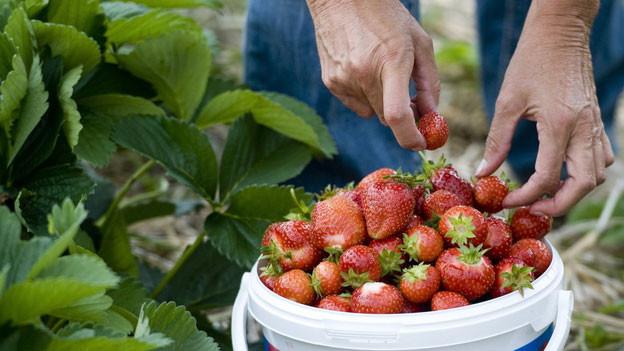 In den Kantonen Aargau und Solothurn beginnt in den nächsten Tagen die Erdbeerernte.
