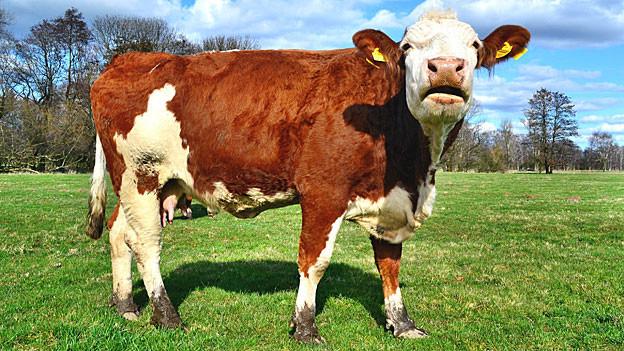 Bisher will noch kein Bauer seine Fleckviehkühe zur Verfügung stellen.