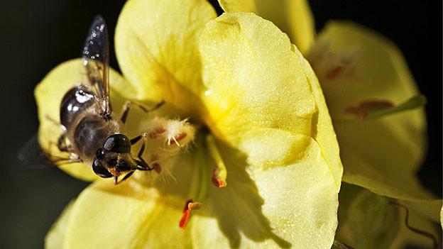 400 Millionen Bienen gibt es im Kanton Aargau. Eine Bienenfachstelle ist für die Regierung möglich.