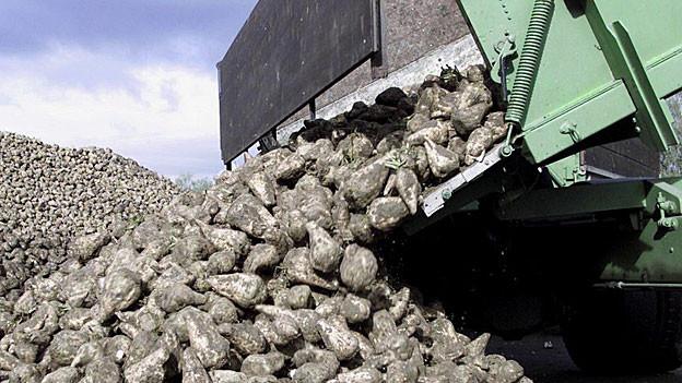 Bei den Zuckerrüben gibt es schon bald Engpässe.
