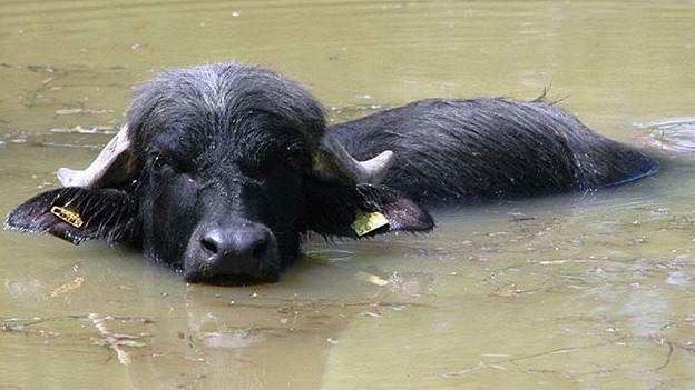 Verantwortlicher Wasserbüffel-Halter akzeptiert Busse.