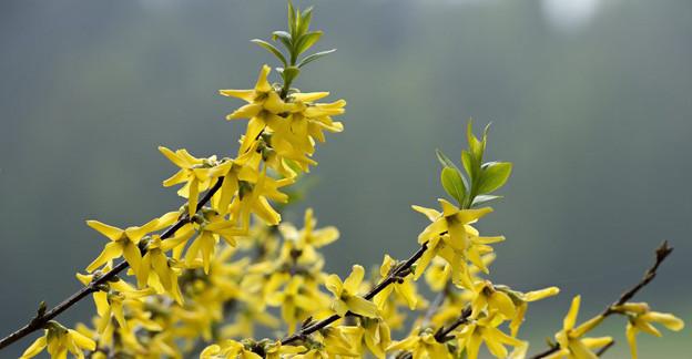 Blühende Forsythien im Frühling 2013
