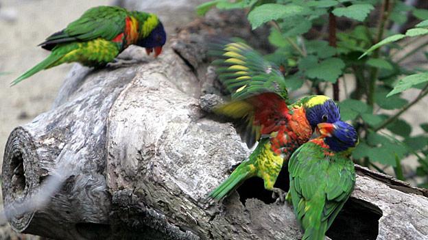 Die Papageien in der Aussenvoliere im Basler Zoo. Papageien können laut sein. Genau das ist das Problem in Dulliken.