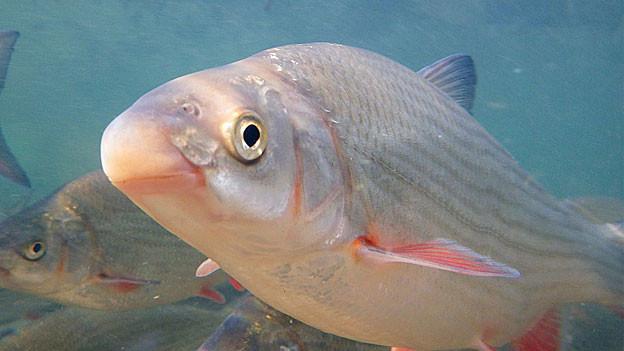 Fisch namens Nase