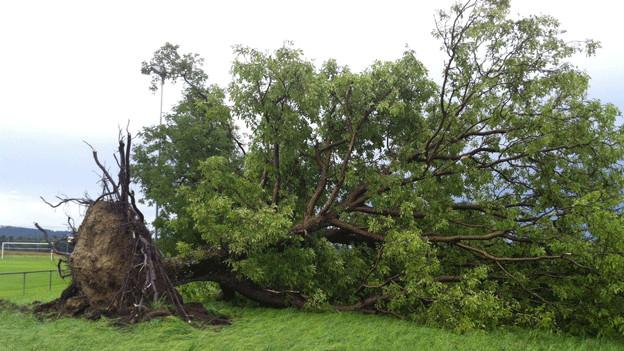Umgestürzter Baum.