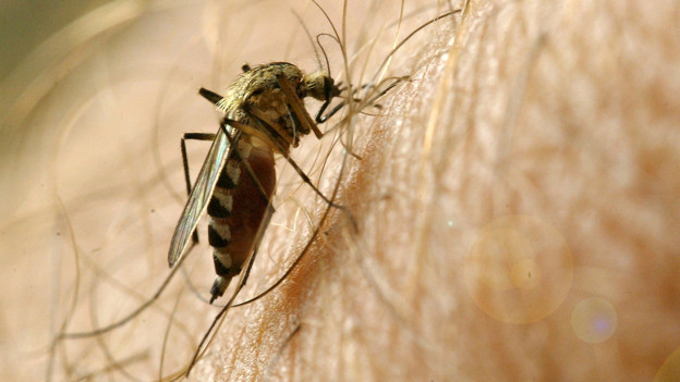 Mückenplage in den Regionen Aargau und Solothurn.