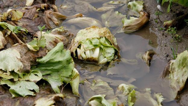 Im Aargau leidet besonders der Salat unter dem feucht-warmen Sommerwetter.