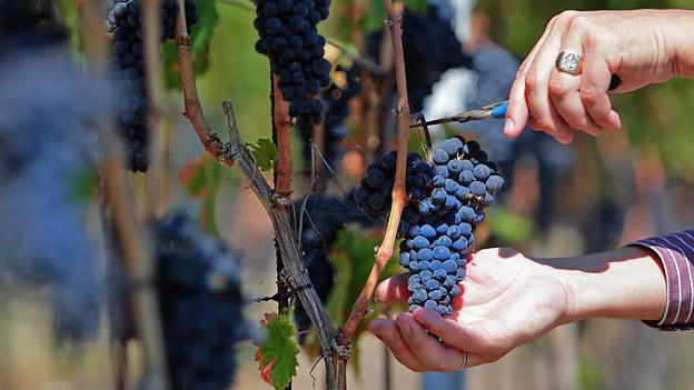 Zwei Hände ernten Weintrauben.
