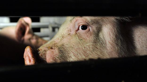 Die Schweine durfte nicht lange in ihrem neuen Stall bleiben