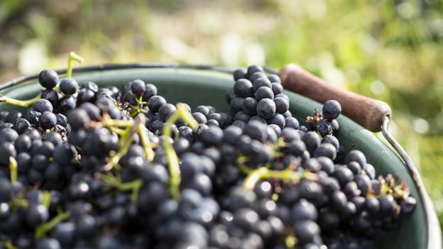Im Kanton Solothurn soll immer mehr Wein angebaut werden