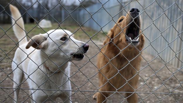 Gefahr Tollwut: Kanton Aargau geht gegen illegale Hunde vor