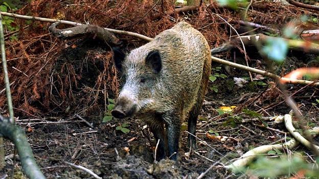 Den Aargauer Wildschweinen soll es an den Kragen gehen.