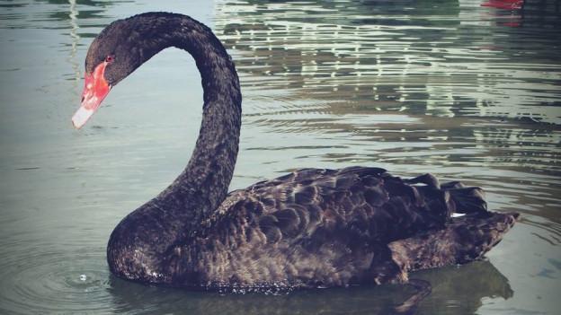 Der schwarze Schwan von Olten wurde schon mehrfach auf der Aare beobachtet und fotografiert.