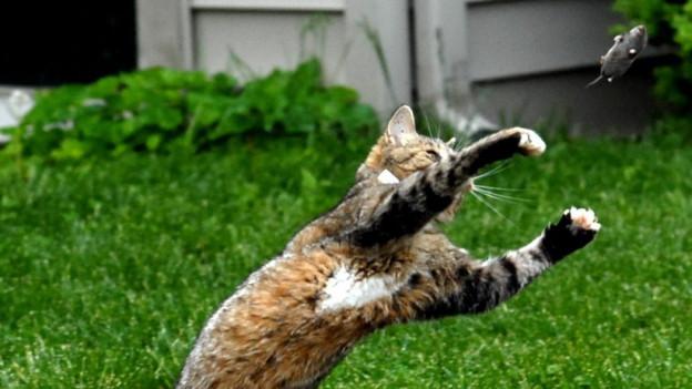 Katze spielt mit erbeuteter Maus.