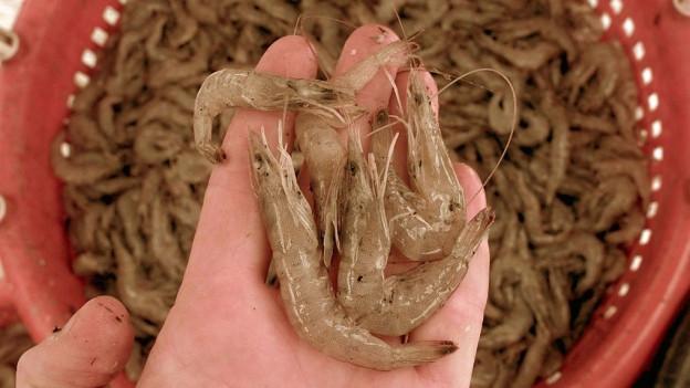 Bald sollen in Luterbach die ersten Shrimps geerntet werden.