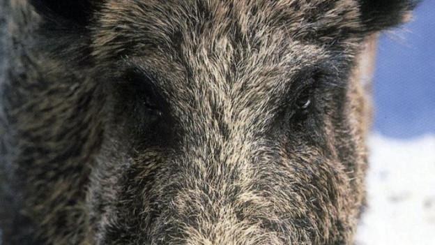 Wildschweinkeiler in der Wintersuhle.