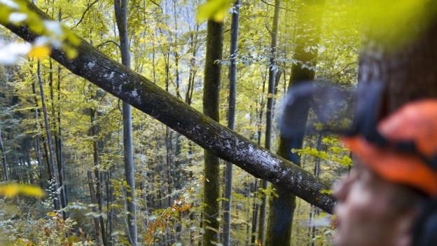 Förster begutachtet Bäume im Wald.