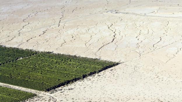 In einer Wüstenlandschaft stehen Zitrusbäume, das Bild wurde im Mai in Kalifornien/USA aufgenommen.