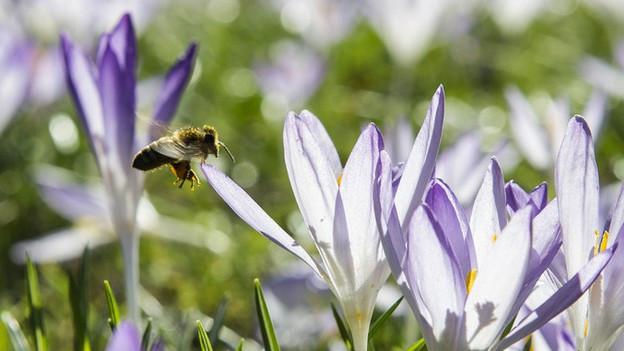 Bienen sind wichtig für die Pflanzen. Sollte man «Bienenförderung» deshalb aus dem Landwirtschaftsbudget bezahlen?