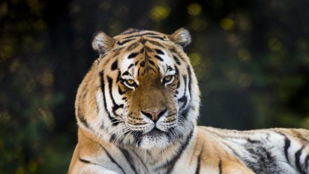 Tiger im Zoo