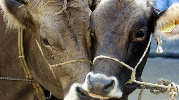 Nun beschäftigen die 16 toten Rinder die Solothurner Staatsanwaltschaft.
