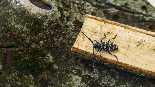 Er ist der Übeltäter, der asiatische Laubholzbockkäfer, der Bäume absterben lässt. Der Käfer wird oft mit Verpackungsholz (z.B. Paletten) aus China eingeschleppt.