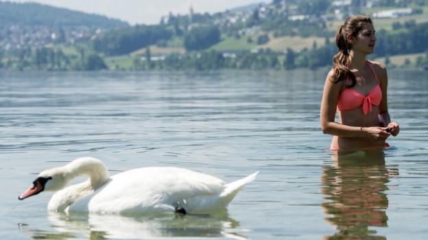 Für die Badegäste am Hallwilersee werden die Schwäne und deren Kot unangenehm.