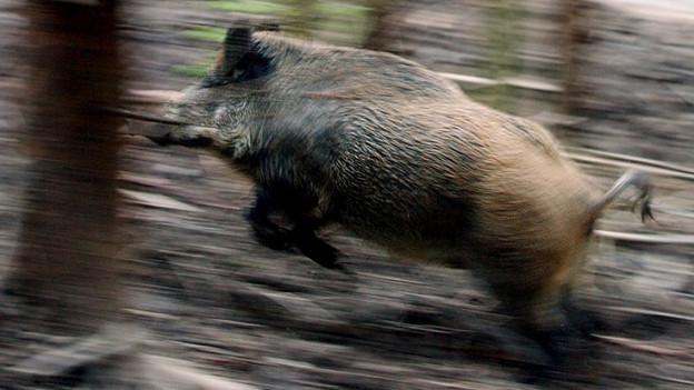 Im Kanton Solothurn richten Wildschweine jedes Jahr einen Schaden von bis zu 300'000 Franken an.