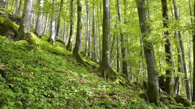 Buchenwälder breiteten sich nach der letzten Eiszeit in ganz Europa aus.