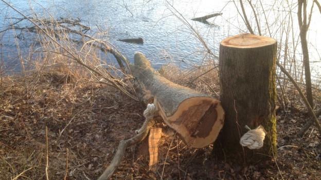 Raubäume (hier in Flumenthal) sind Bäume an Flüssen, die so gefällt werden, dass sie ins Wasser zu liegen kommen.