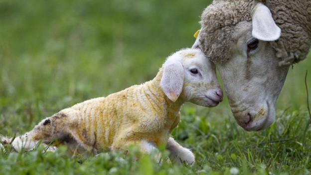 Ob auf dem Heitere künftig Schafe grasen, soll in einem halben Jahr klar sein.