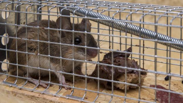Für gefangene Mäuse bezahlt in Obersiggenthal nicht mehr die Gemeinde eine Prämie, sondern Private.