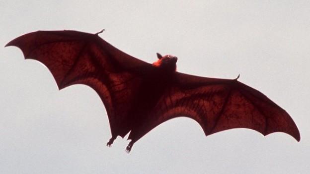 In Balsthal gibt es Einblicke aus der Behausung der Fledermäuse, am Schluss fliegen sie den Besuchern über die Köpfe.