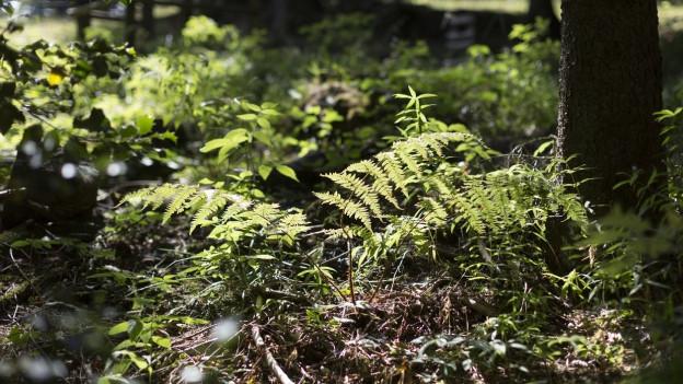 Das Gebiet Schacheninsle umfasst auch ein Waldreservat. Der Kanton erwirbt es als Ausgleichsmassnahme.
