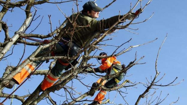 Auch Gärtner können Bäume schneiden