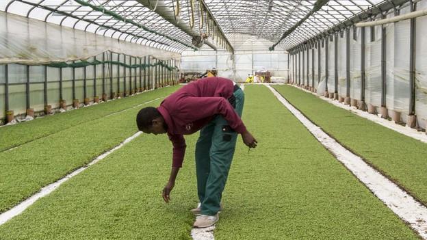 Flüchtling an der Arbeit in einem Gewächshaus