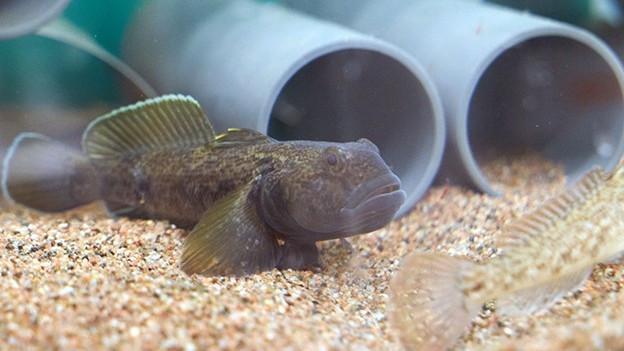 Der invasive Fisch frisst die Laiche der einheimischen Fische. Ein Problem.