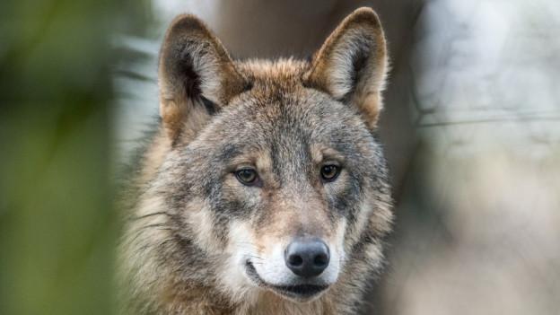 So nah sieht man die Wölfe (hier in einem Tierpark) in der Schweiz selten.