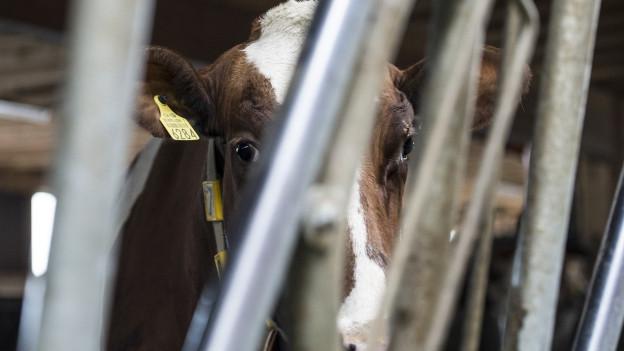 Tote Rinder in Boningen: Es war Tierquälerei, sagt jetzt die Staatsanwaltschaft.