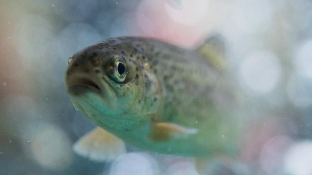 Forellen sterben bei Wassertemperaturen über 25 Grad.