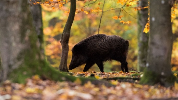 Zwei Jagdgesellschaften haben ihre Aufgaben zu wenig erfüllt. Sie haben zu wenig Rehe und Wildschweine erlegt.