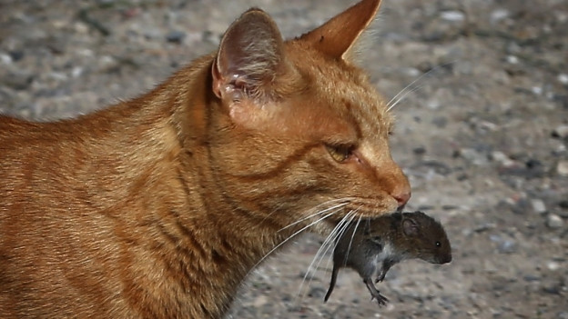 Das Naturmuseum Solothurn sammelt Mäuse und ähnliche Tierarten und wertet sie aus, noch bis November.