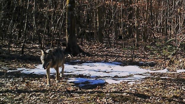 Der wird im Aargau kaum sesshaft, sagt die kantonale Jagdverwaltung. Er hat hier zu wenig Ruhe.