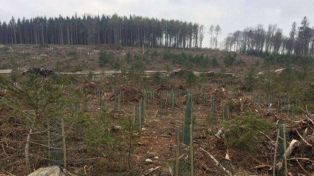 Zerstörter Wald mit Setzlingen von Jungbäumen.