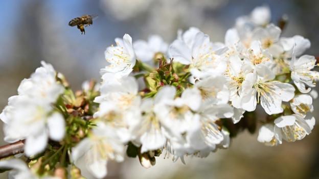 Weisse Kirschblüten