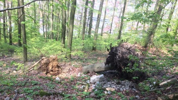 In Würenlingen zeigt sich, dass die Wälder nach wie vor mit der Trockenheit kämpfen.