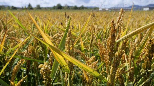 Der Reis in Brugg ist fast ausgewachsen.