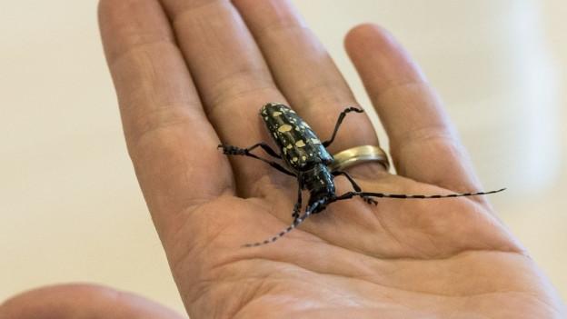Grosser Käfer auf Hand.